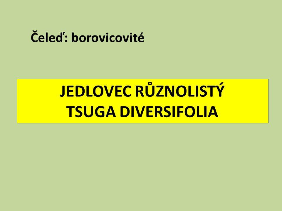 JEDLOVEC RŮZNOLISTÝ TSUGA DIVERSIFOLIA