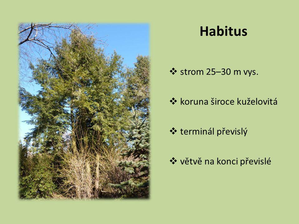 Habitus strom 25–30 m vys. koruna široce kuželovitá terminál převislý