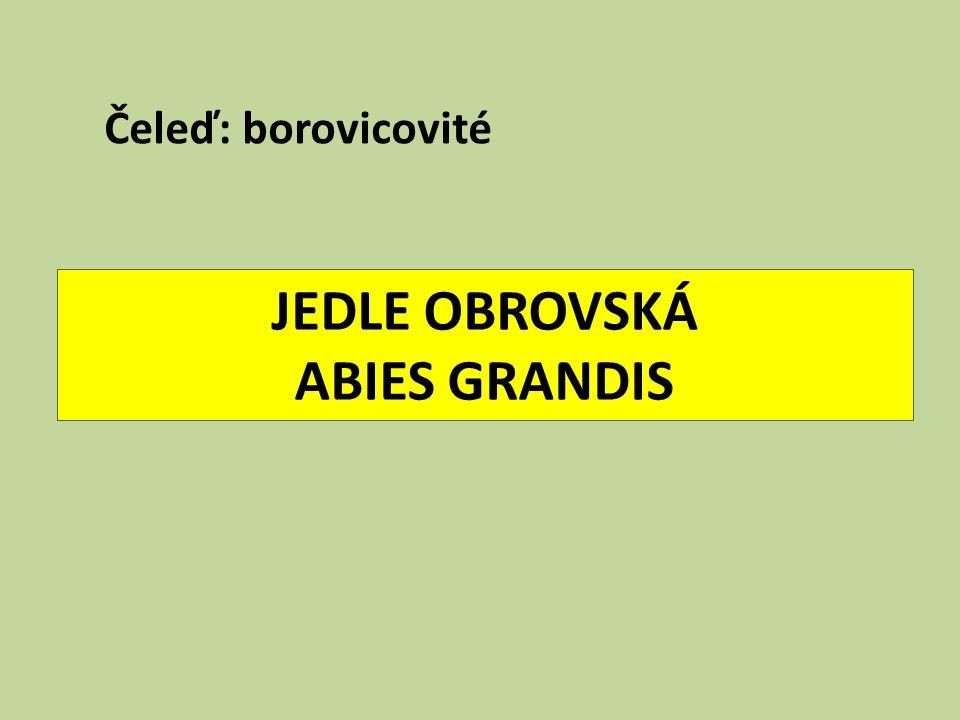 JEDLE OBROVSKÁ ABIES GRANDIS