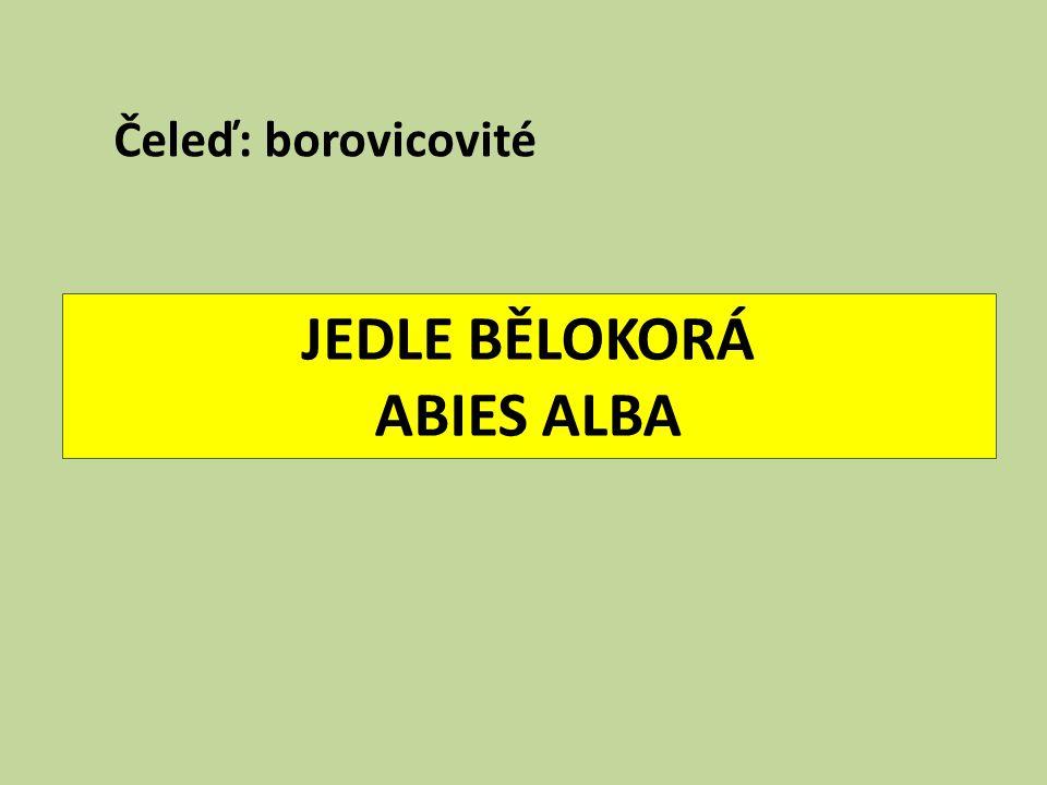 JEDLE BĚLOKORÁ ABIES ALBA