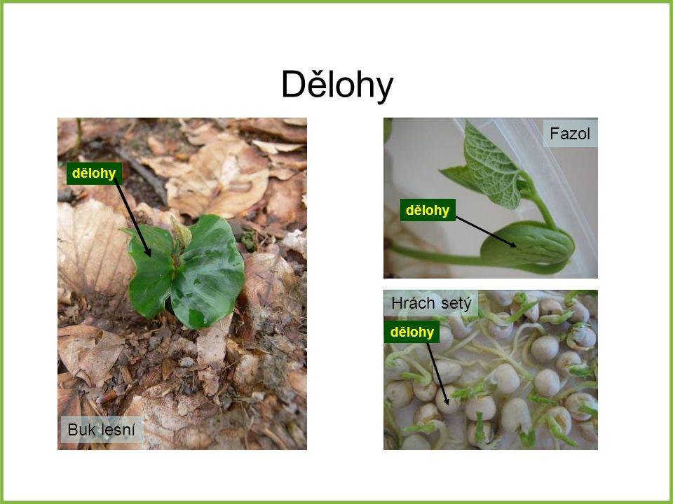 Dělohy Fazol dělohy dělohy Hrách setý dělohy Buk lesní