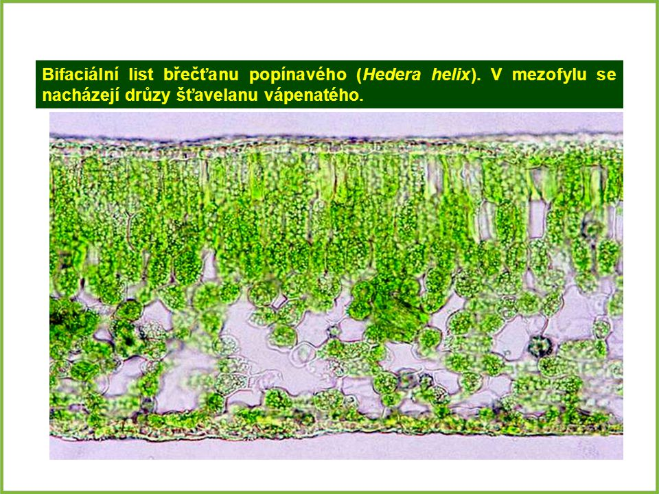 Bifaciální list břečťanu popínavého (Hedera helix)
