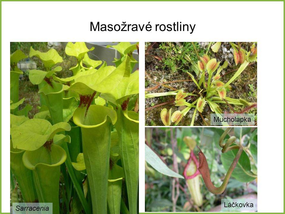 Masožravé rostliny Mucholapka Láčkovka Sarracenia
