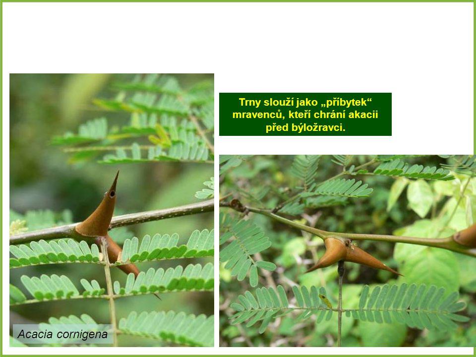 """Trny slouží jako """"příbytek mravenců, kteří chrání akacii před býložravci."""