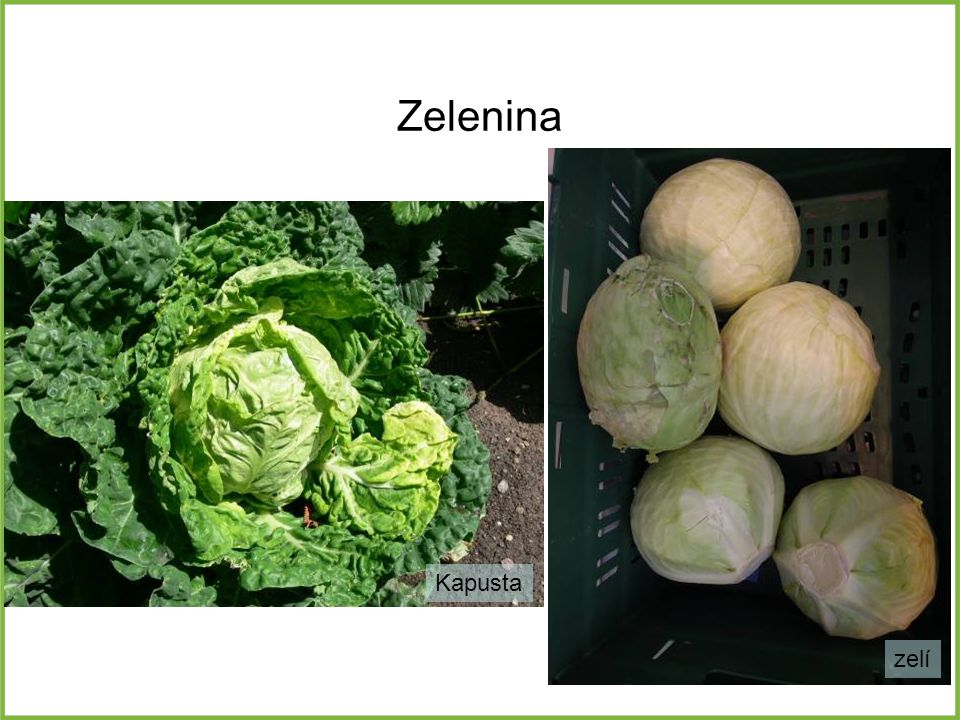 Zelenina Kapusta zelí