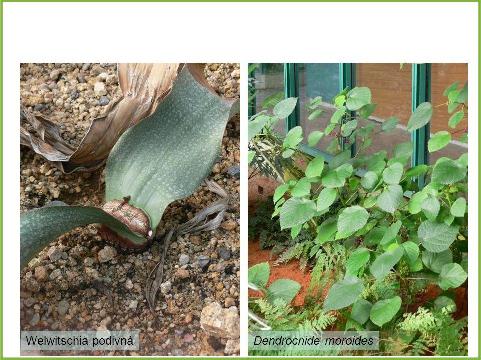 Welwitschia podivná Dendrocnide moroides