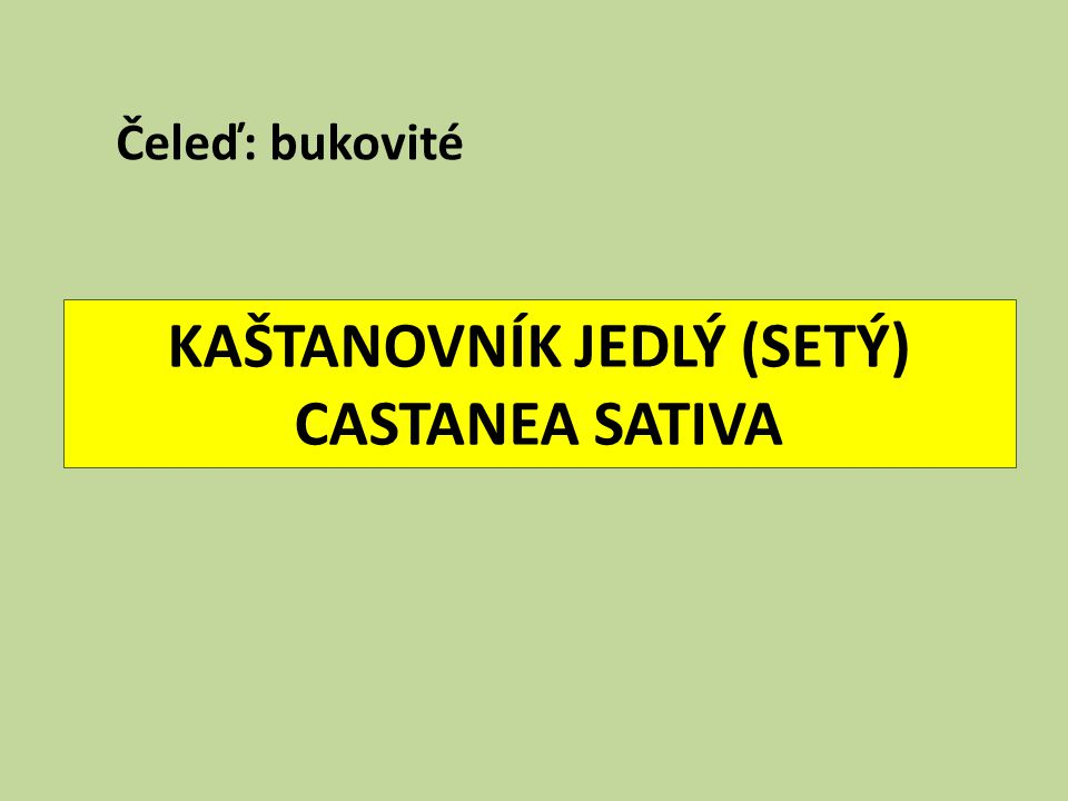KAŠTANOVNÍK JEDLÝ (SETÝ) CASTANEA SATIVA