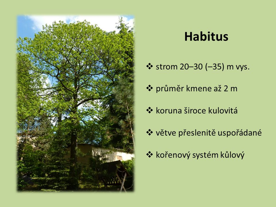 Habitus strom 20–30 (–35) m vys. průměr kmene až 2 m