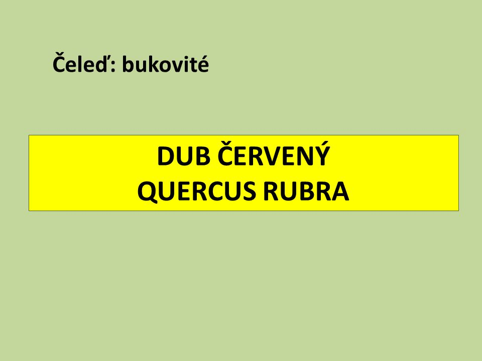 DUB ČERVENÝ QUERCUS RUBRA