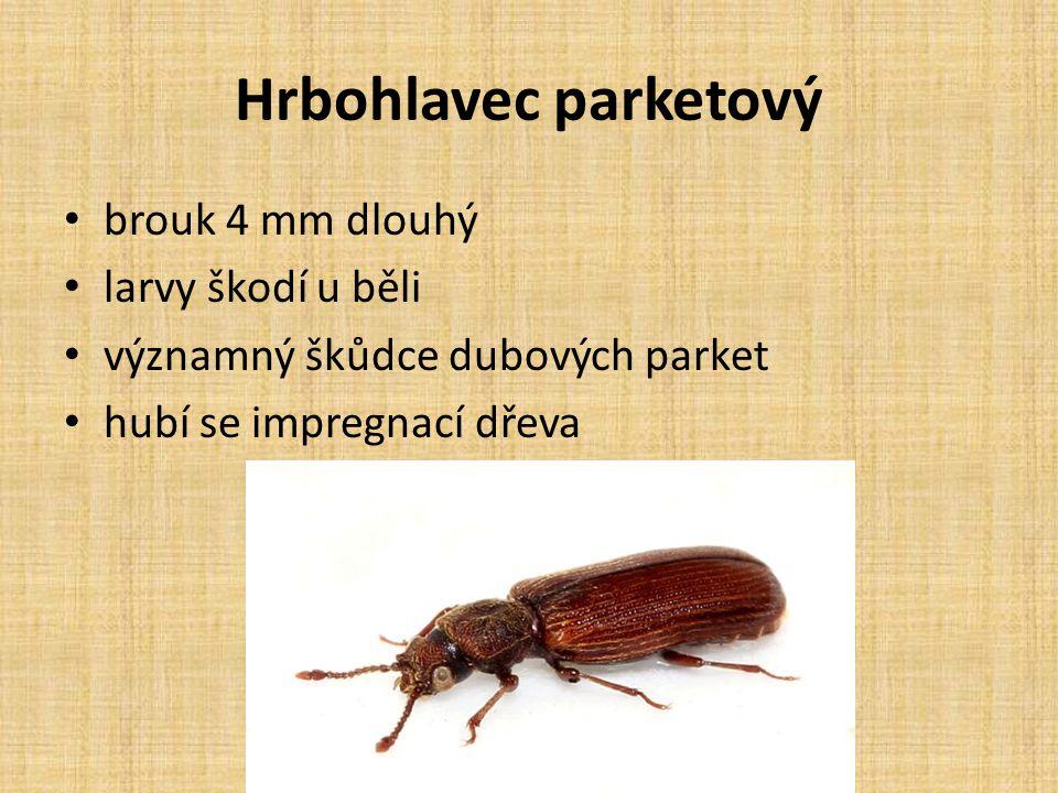 Hrbohlavec parketový brouk 4 mm dlouhý larvy škodí u běli