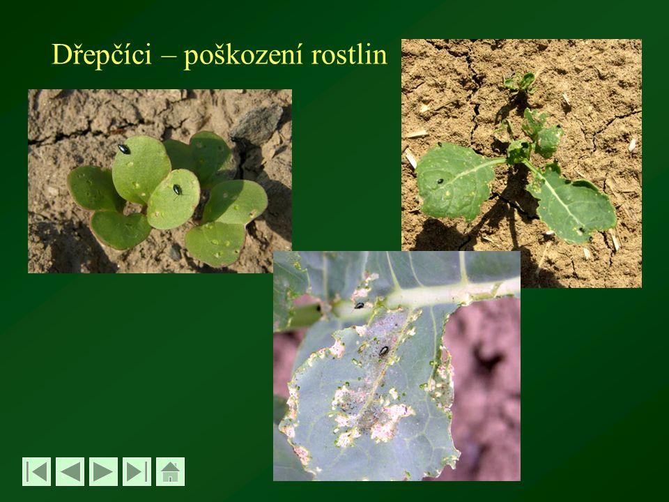 Dřepčíci – poškození rostlin