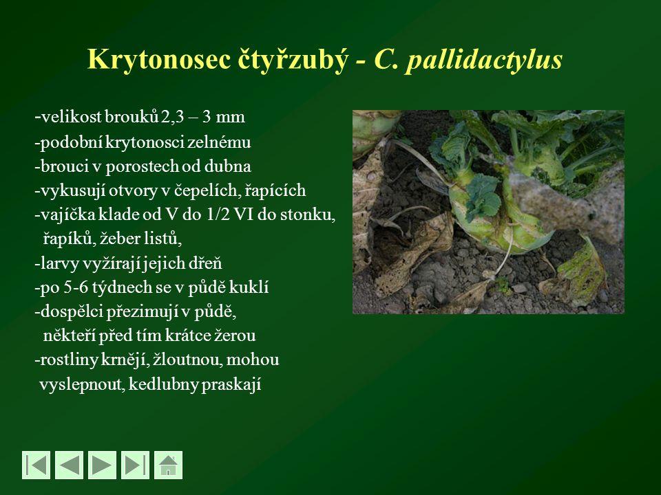 Krytonosec čtyřzubý - C. pallidactylus