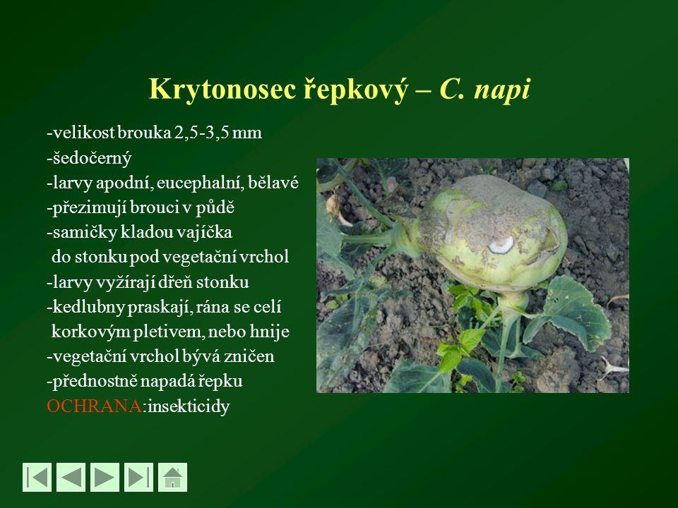 Krytonosec řepkový – C. napi