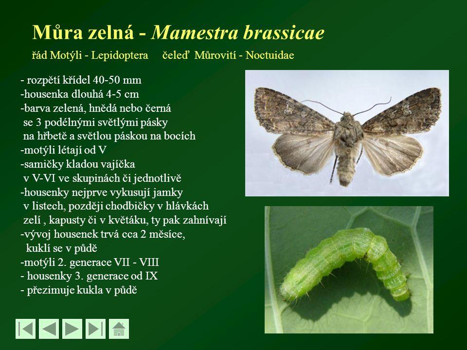 Můra zelná - Mamestra brassicae řád Motýli - Lepidoptera čeleď Můrovití - Noctuidae