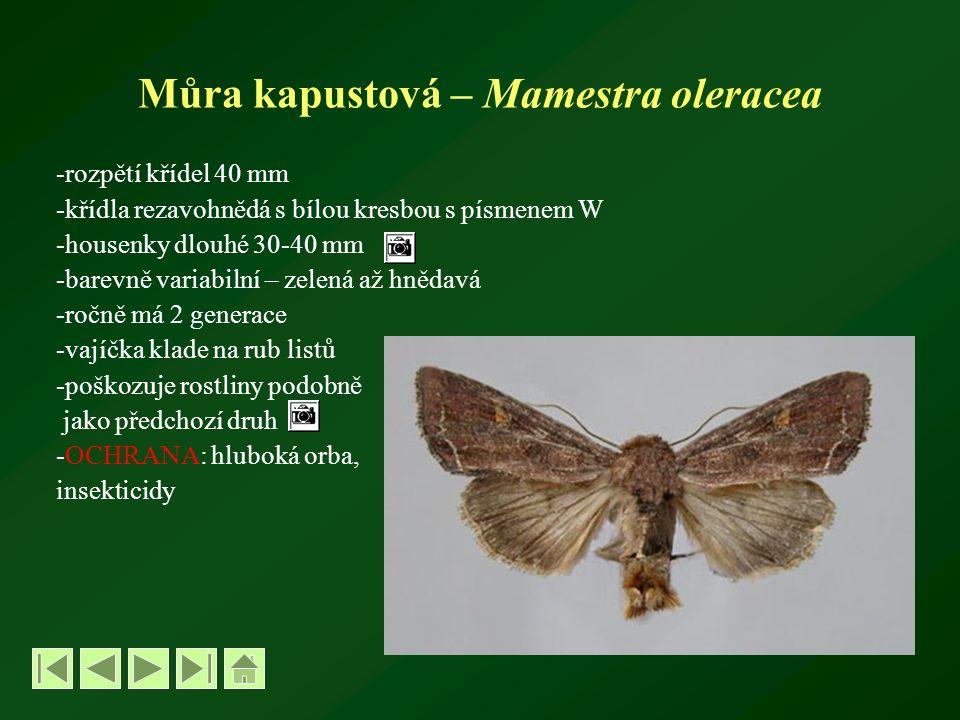 Můra kapustová – Mamestra oleracea