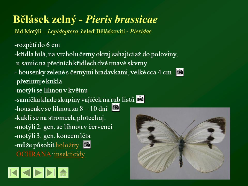 Bělásek zelný - Pieris brassicae řád Motýli – Lepidoptera, čeleď Běláskovití - Pieridae
