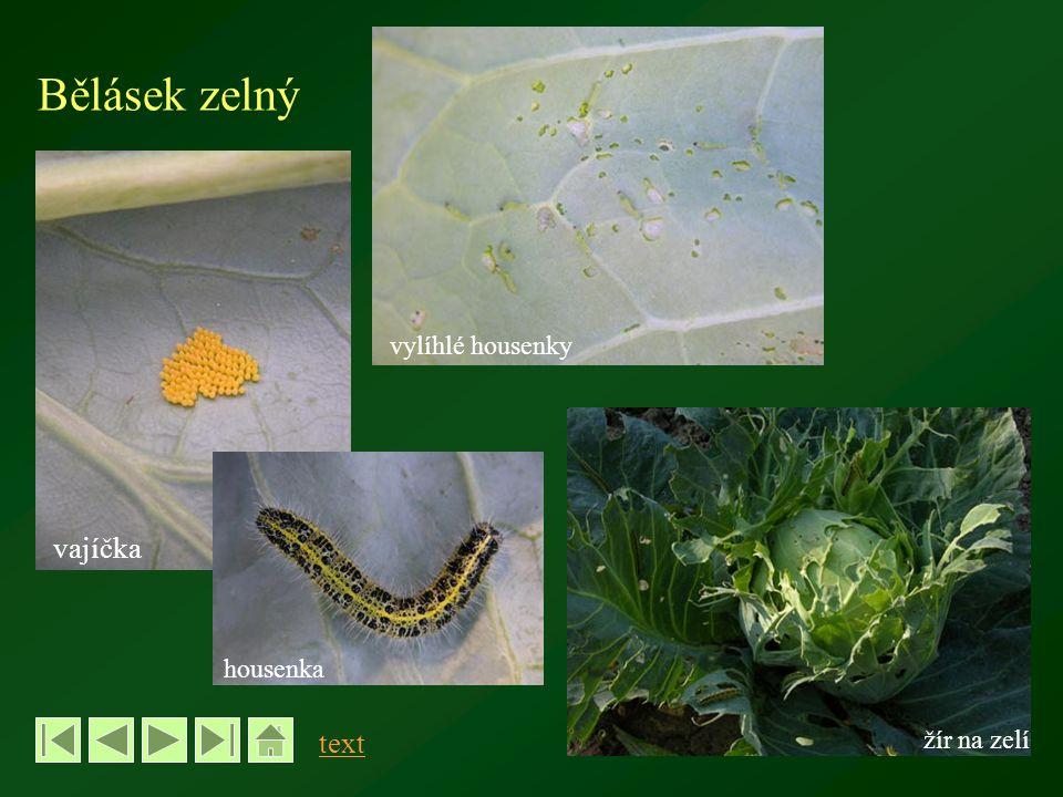 Bělásek zelný vylíhlé housenky vajíčka housenka text žír na zelí