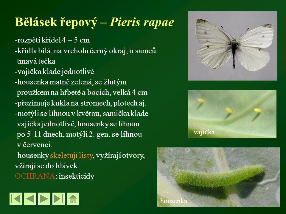 Bělásek řepový – Pieris rapae