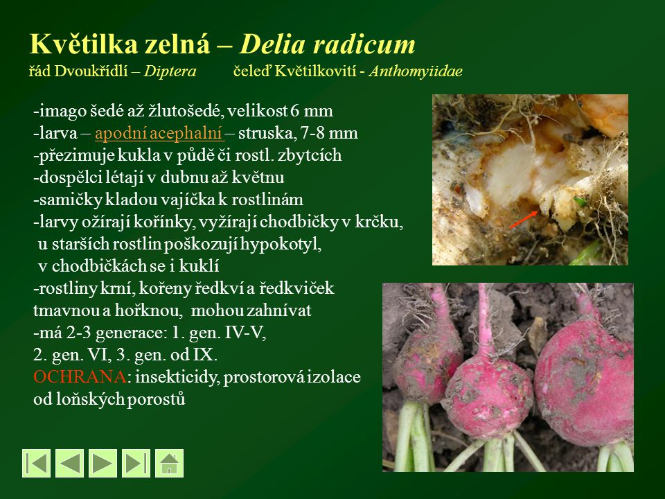 Květilka zelná – Delia radicum řád Dvoukřídlí – Diptera čeleď Květilkovití - Anthomyiidae