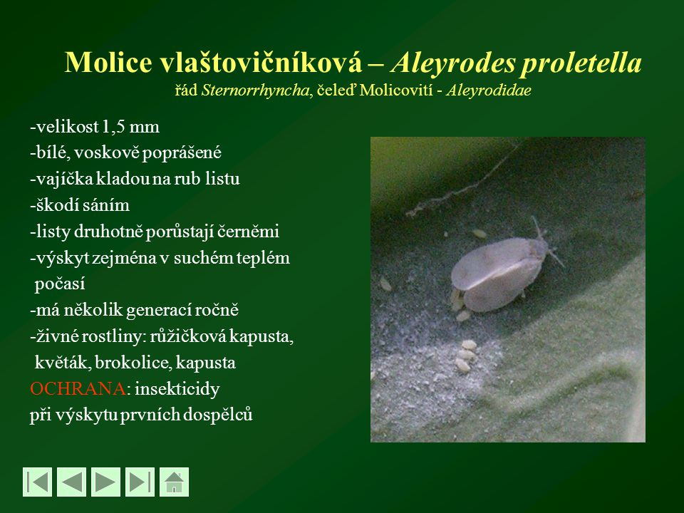 Molice vlaštovičníková – Aleyrodes proletella řád Sternorrhyncha, čeleď Molicovití - Aleyrodidae