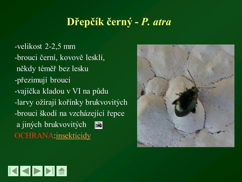 Dřepčík černý - P. atra -velikost 2-2,5 mm
