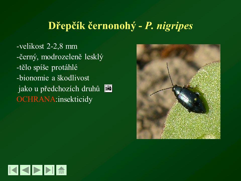 Dřepčík černonohý - P. nigripes