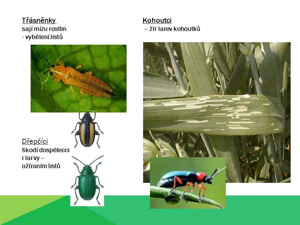 Třásněnky Kohoutci Dřepčíci sají mízu rostlin – žír larev kohoutků