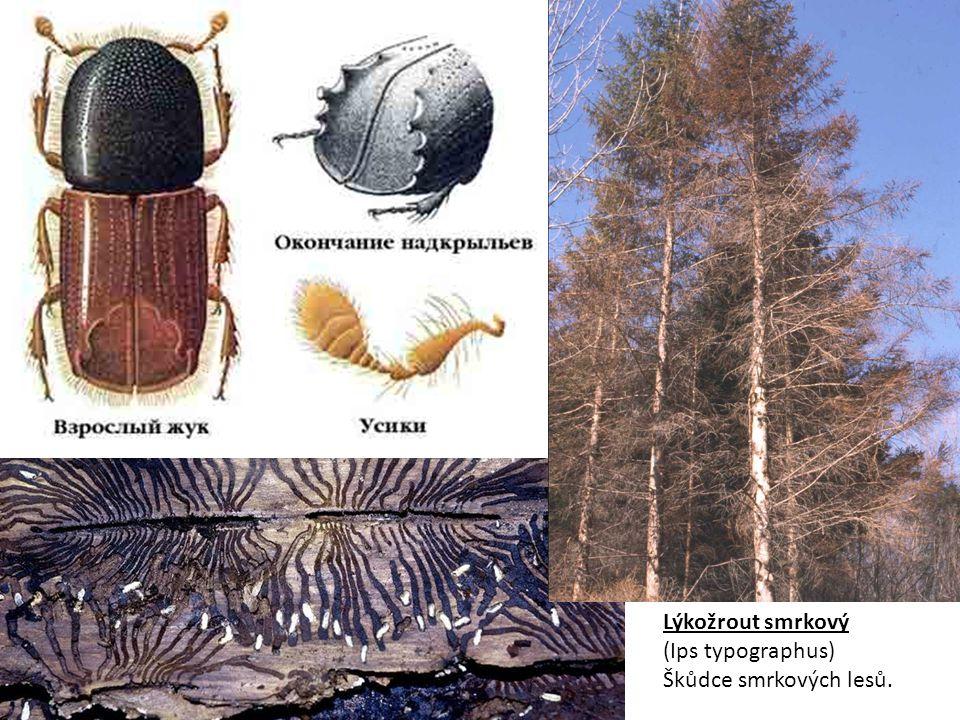Lýkožrout smrkový (Ips typographus) Škůdce smrkových lesů.