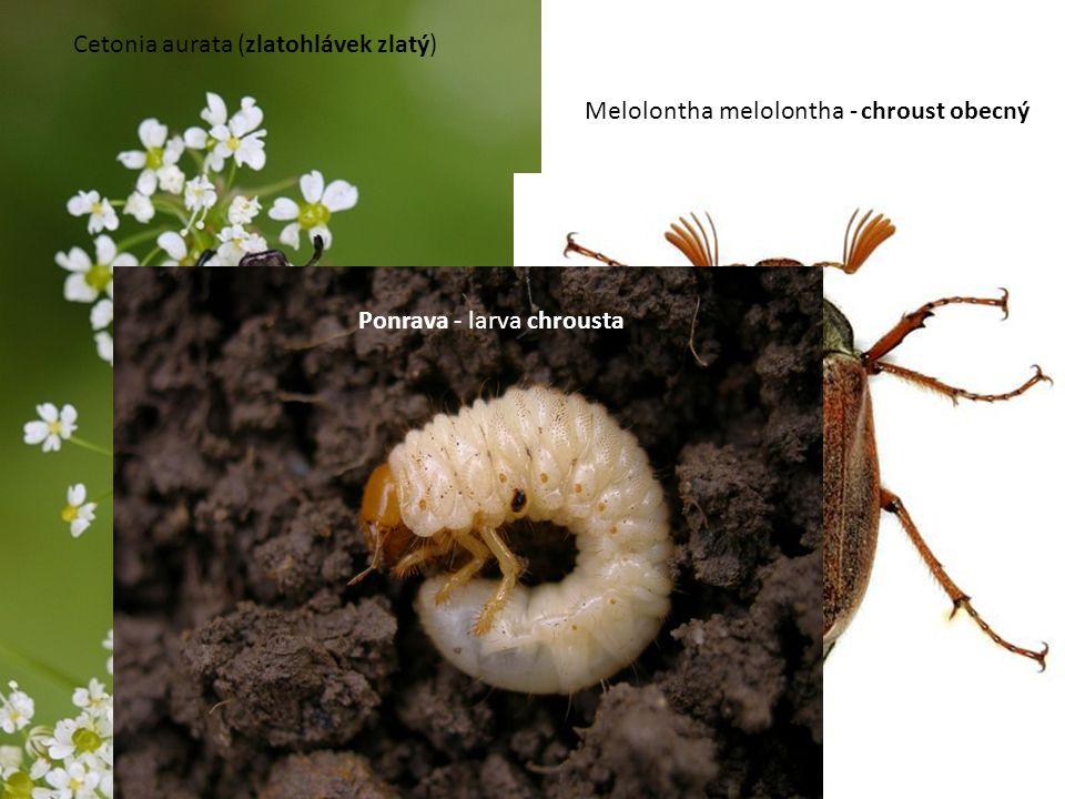 Cetonia aurata (zlatohlávek zlatý)