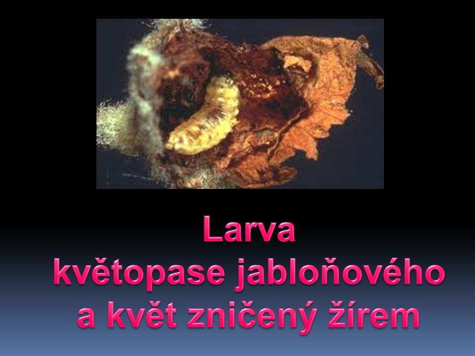 Larva květopase jabloňového