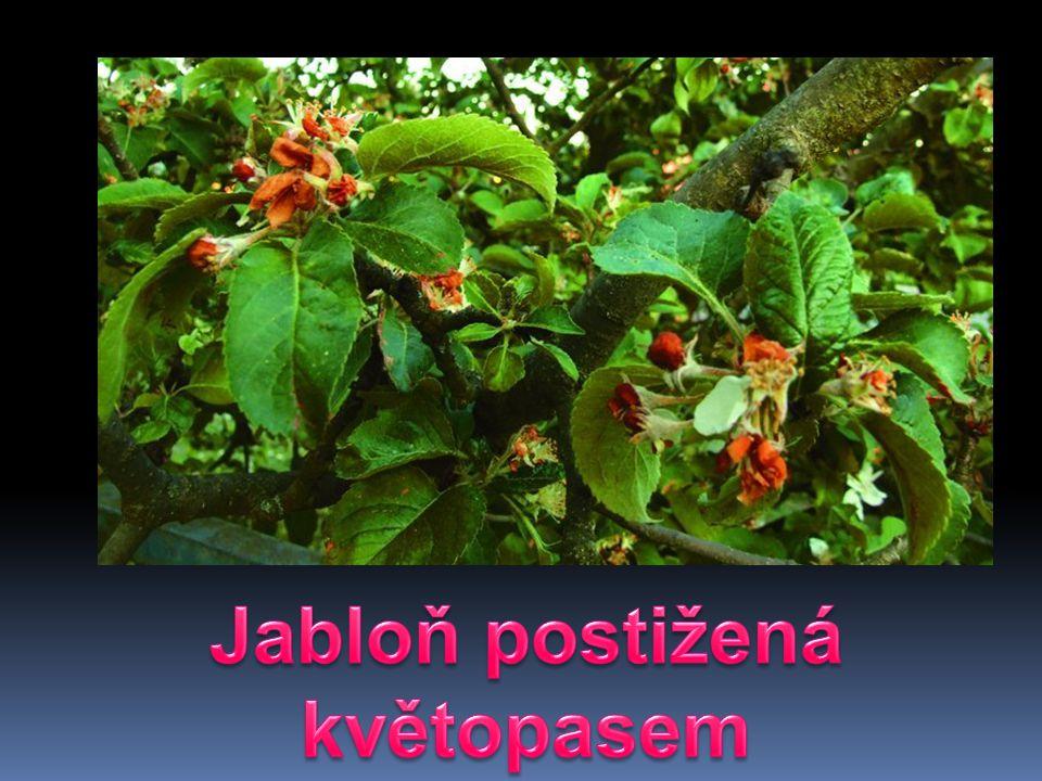 Jabloň postižená květopasem