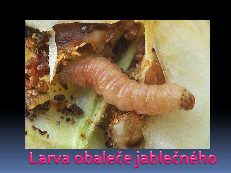 Larva obaleče jablečného
