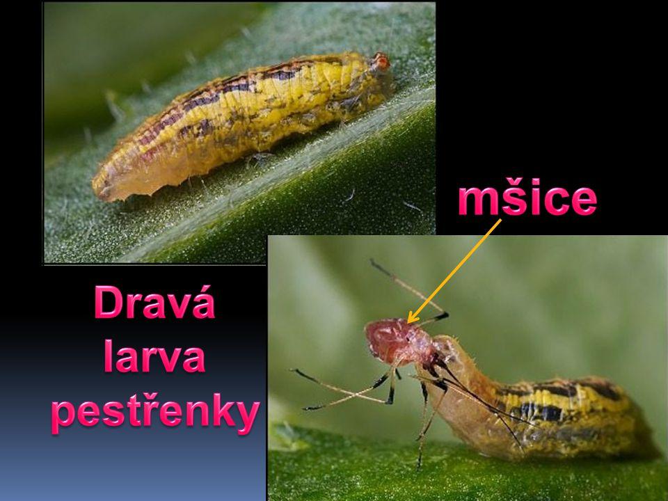 mšice Dravá larva pestřenky