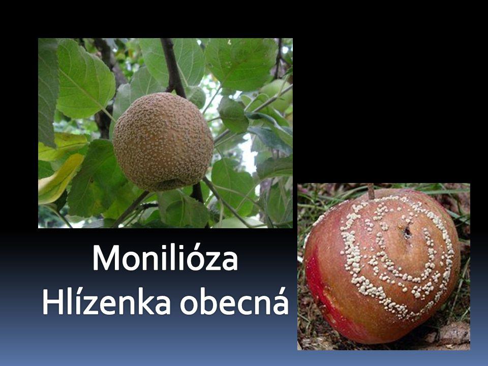 Monilióza Hlízenka obecná
