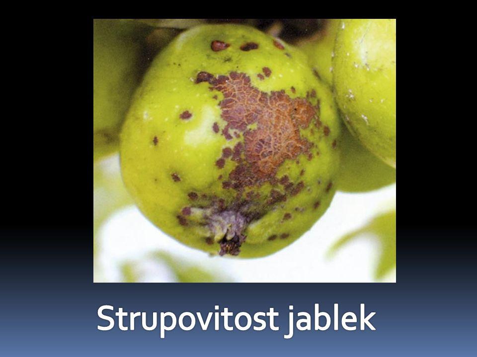 Strupovitost jablek