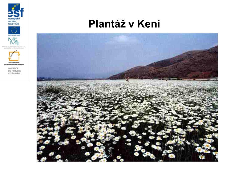 Plantáž v Keni