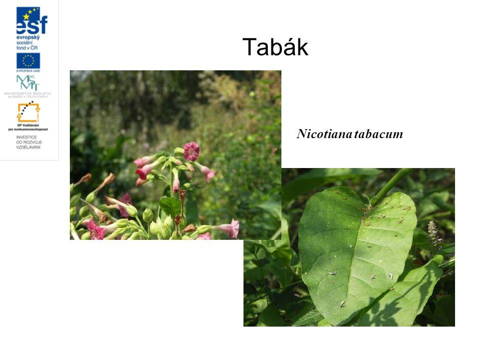 Tabák Nicotiana tabacum