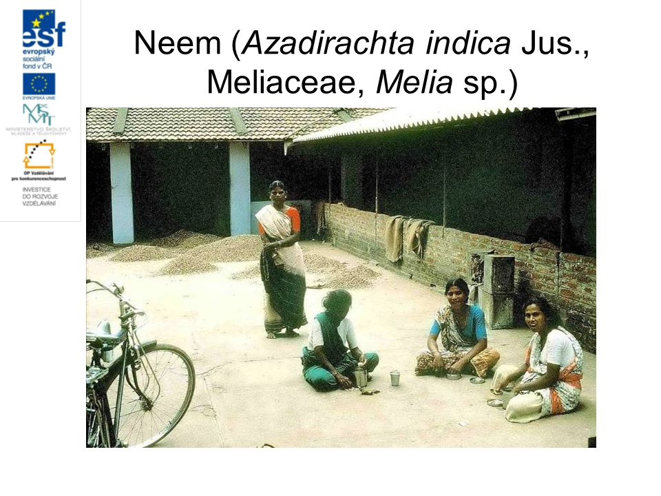 Neem (Azadirachta indica Jus., Meliaceae, Melia sp.)