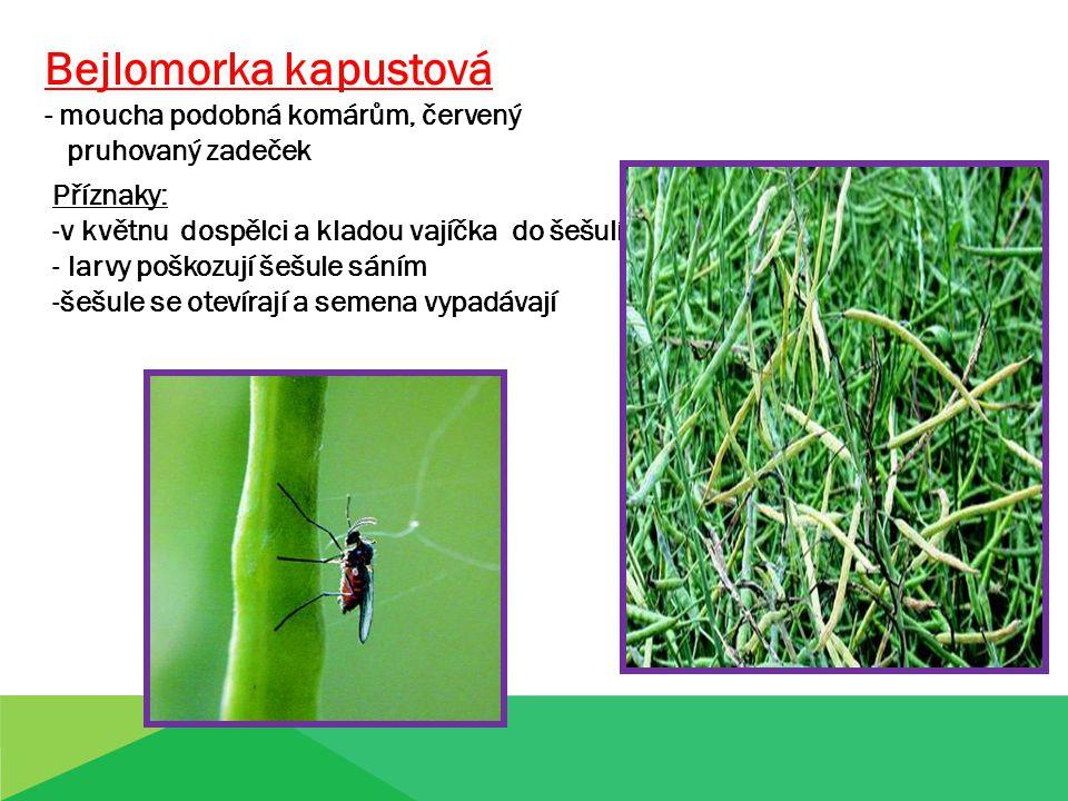 Bejlomorka kapustová - moucha podobná komárům, červený