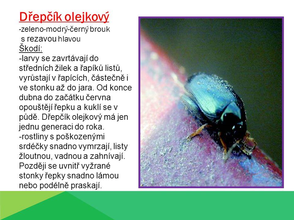 Dřepčík olejkový zeleno-modrý-černý brouk s rezavou hlavou Škodí:
