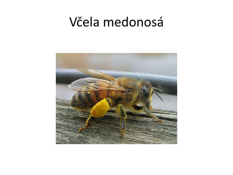 Včela medonosá