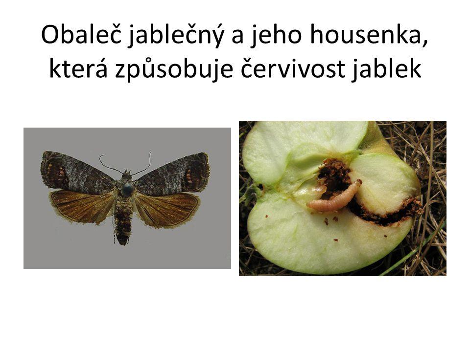 Obaleč jablečný a jeho housenka, která způsobuje červivost jablek