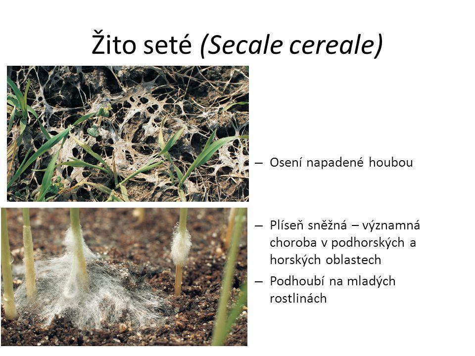 Žito seté (Secale cereale)