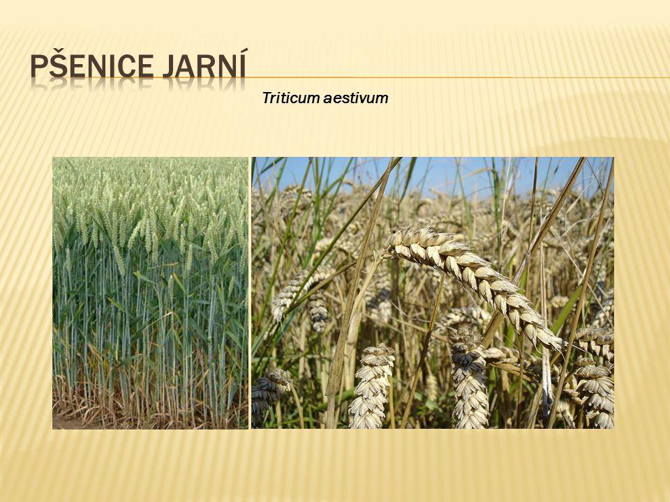 Pšenice jarní Triticum aestivum