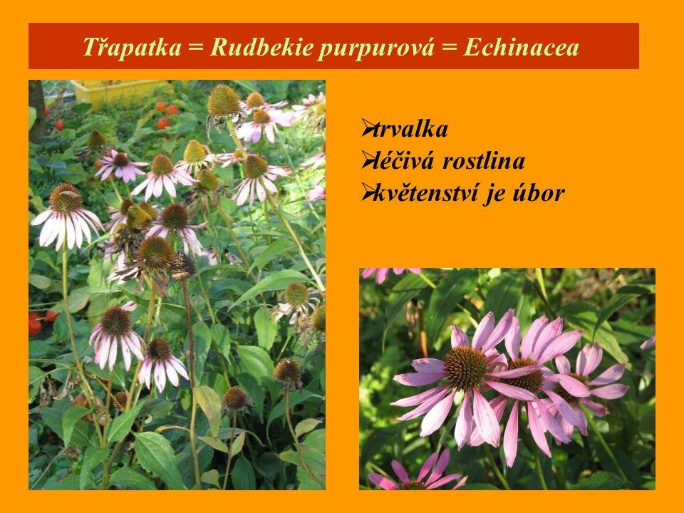 Třapatka = Rudbekie purpurová = Echinacea
