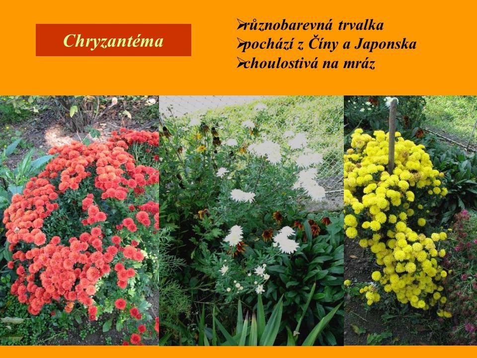 Chryzantéma různobarevná trvalka pochází z Číny a Japonska