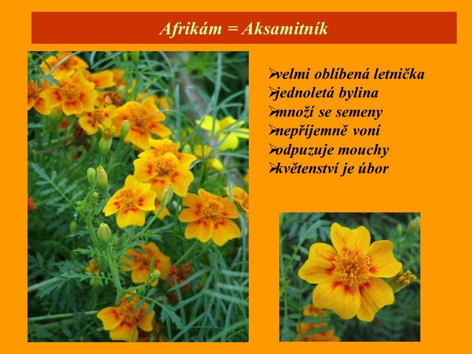 Afrikám = Aksamitník velmi oblíbená letnička jednoletá bylina