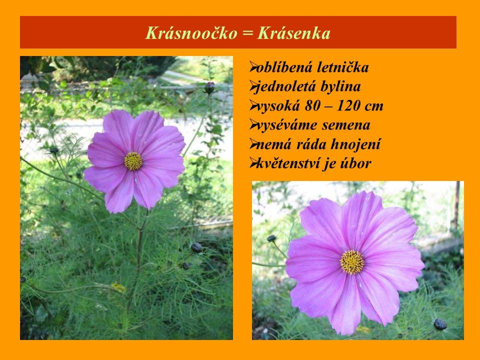 Krásnoočko = Krásenka oblíbená letnička jednoletá bylina