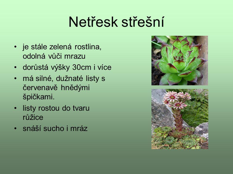 Netřesk střešní je stále zelená rostlina, odolná vůči mrazu