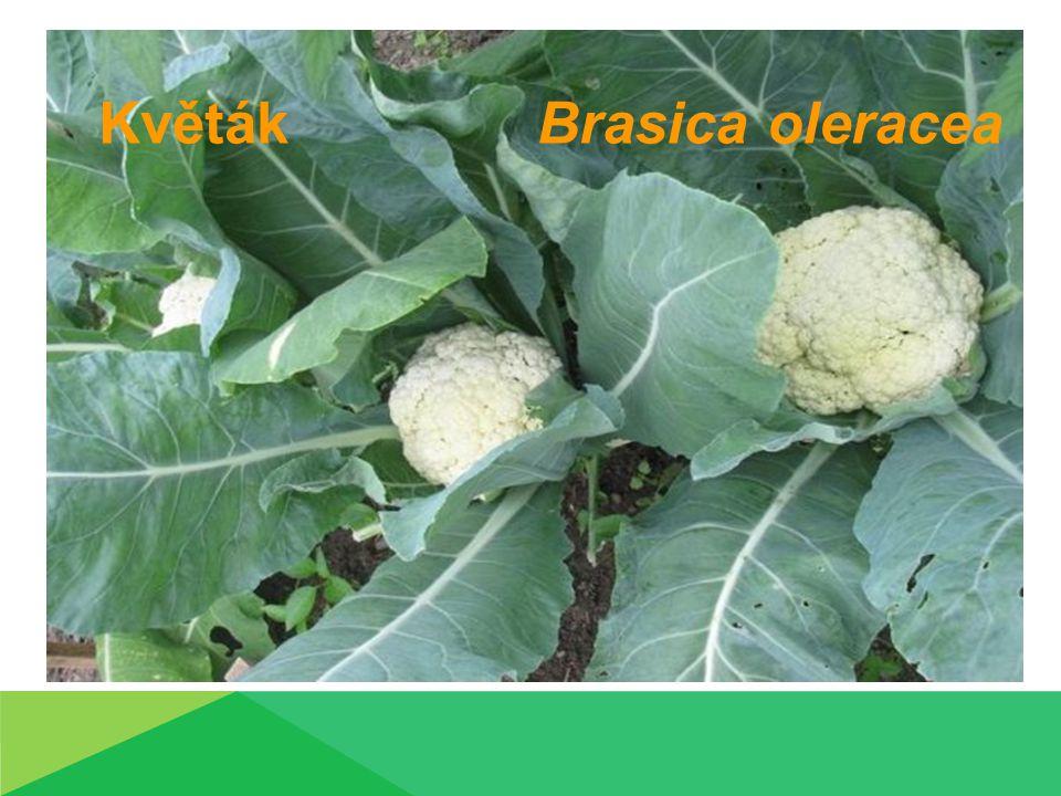 Květák Brasica oleracea